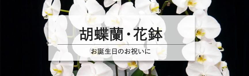 お誕生日祝いの胡蝶蘭・花鉢|浜松の花屋花風舎
