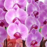 胡蝶蘭の選び方