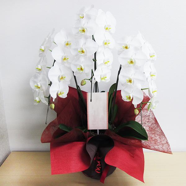移転祝い,胡蝶蘭,浜松,花屋