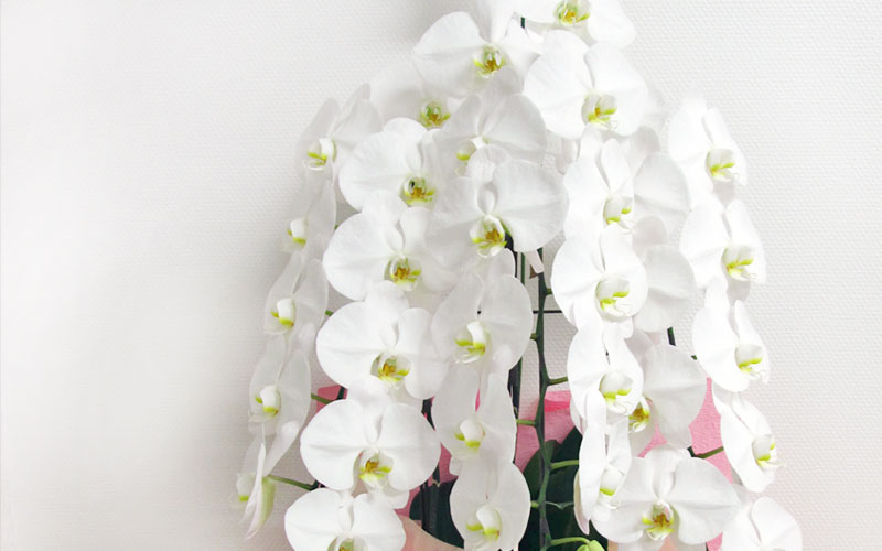 胡蝶蘭の育て方