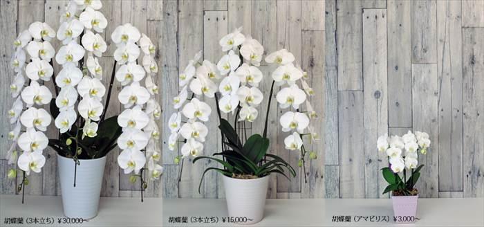 胡蝶蘭のサイズ