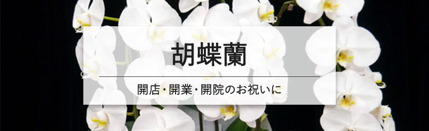 開店・開業・開院のお祝いの胡蝶蘭|浜松の花屋Soel Flowers