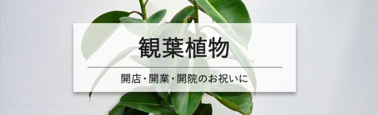 開店・開業・開院祝いの観葉植物|豊橋の花屋Soel Flowers