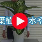 観葉植物のアドバイス動画~水やりのタイミングっていつ?~