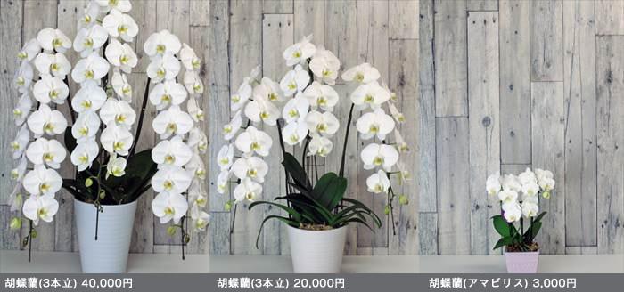 胡蝶蘭のサイズ比較表