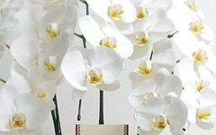 胡蝶蘭|浜松の花屋花風舎